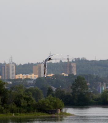 Среда обитания Иркутск Ангара Чайки Лето