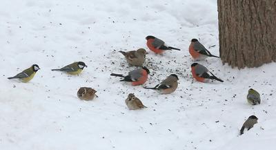 Солисты и статисты птички дубонос воробей синичка снегирь зима