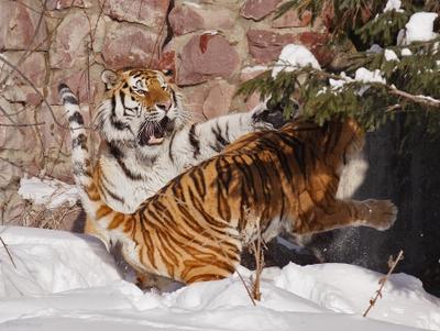 Большие кошки. Вон отсюда! кошкофото большие кошки амурский тигр тигрица