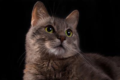 Лайт Животные портрет кот студия глаза
