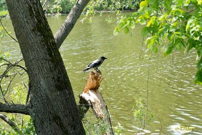 *** пруд ворона природа лето парк