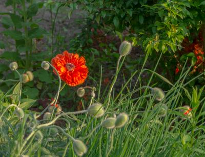 ... первый пошёл! ;) Бутоны июнь мак цветок