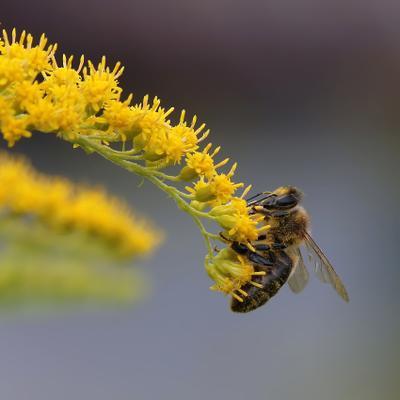 Труженица пчела, пыльца, лето, сбор, работа, праздники, макро