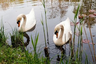 Синхронное плавание Лето вечер лебеди