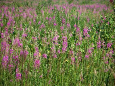 *** природа лето цветы иван-чай