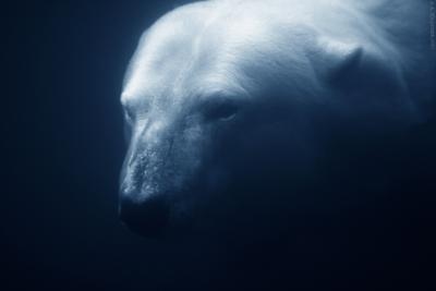 На глубине... белый медведь под водой