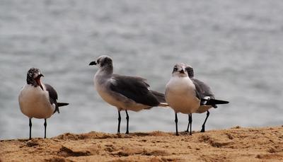 Птичьи разборки Фотоохота чайки океан характеры
