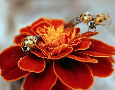 Дорогая,я вернулся макро божья коровка капли насекомые