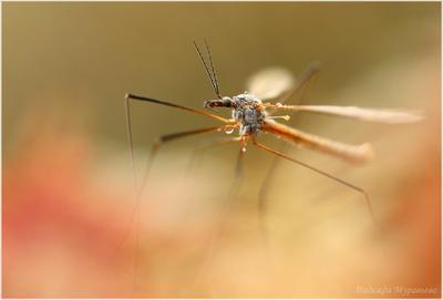 Марсианские хроники Tipulidae долгоножка комар