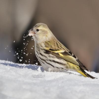 Борьба с семечкой Чиж птица птицы клюв зима весна снег