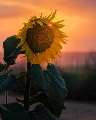 Цветок солнца воронеж подгорное подсолнух 2021 июль
