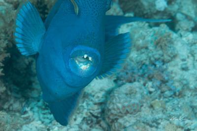 Triggerfish corals diving fish macro nature ocean photography photos sea underwater water world рыбы море океан дайвинг подводная фотография