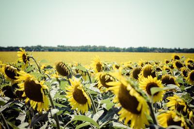 Подсолнечный рай подсолнухи желтый поле лето