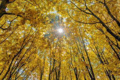 May the always be sunshine :) Лучи солнце деревья желтые листья лес хорошая погода погожий денёк осень