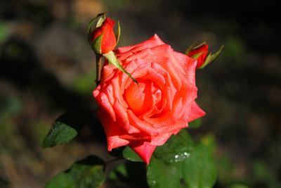 Роза в утренней росе;)