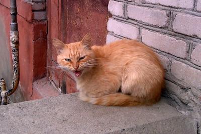 Гордость и предубеждение кошка, кот, пасть, рыжий, усы, оскал, недовольство