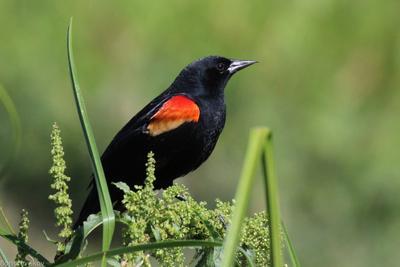 Мечтатель Красноплечий чёрный трупиал Agelaius phoeniceus Linnaeus 1766 Red-winged Blackbird