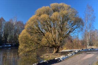 Мартовское дерево Ива ломкая или ракита Salix fragolis март река Керава Хельсинки Финляндия Keravanjoki Helsinki Finland