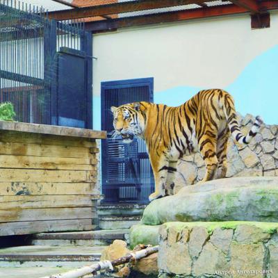 Амурский тигр Екатеринбург зоопарк амурский тигр животные