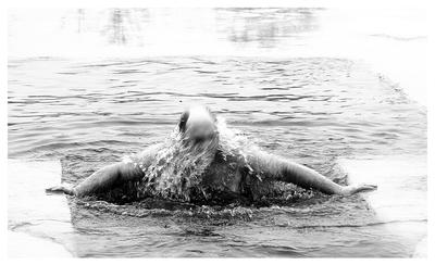 Russian walrus Russian walrus bathing in an ice-hole ice winter cold water hole swimming training health Russia body