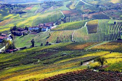 виноград Неббиоло