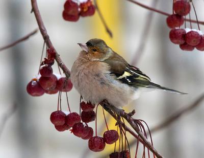Зимний  зяблик птицы зяблик