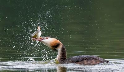 Удачная охота птицы природа весна лес чомга рыбалка