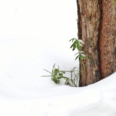 у вас лето торчит из-под зимы снег зима лес