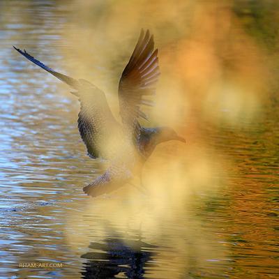 A Dream-Bird птица bird птицы birds полет flight flying крылья wings dream мечта греза грёза вода water gatchina гатчина природа nature