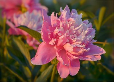 Пион в теплом свете цветы природа пион