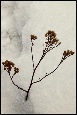 Стойкость снег, растение