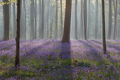 Синий туман Бельгия синий лес рассвет туман весна