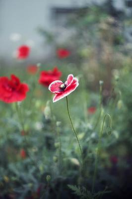 *** гелиос 44-6 природа цветы маки