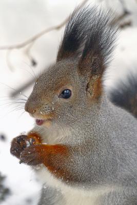 А сейчас я вам расскажу последние лесные новости белка Сибирь зима