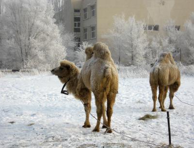 кораблям мороз не страшен ) верблюд мороз