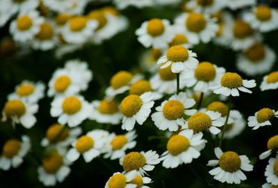 ромашки design daisy plant natural flower herb medicine green herbal background nature chamomile camomile white beauty yellow outdoor field healthy spring health care summer sun sunny group beautiful sunflare summertime stem backlight sunlight bloom alternative c