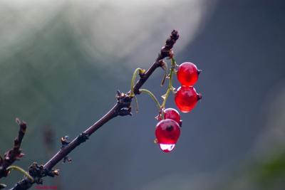 красная закат лето ягода красная смородина туголес туголесский бор дача