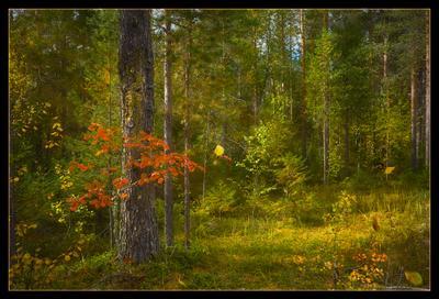 что такое осень...(2) осень лес рябина листопад