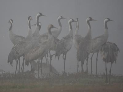 Before the dawn журавли птицы
