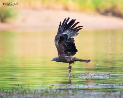 Чёрный коршун / Black kite / Milvus migrans Чёрный коршун уфа рыбалка