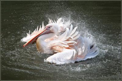 водные процедуры пеликан