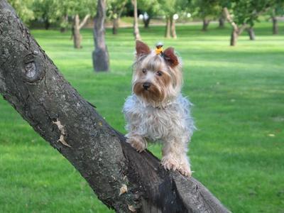 Бася Бася, собака, йорк, йоркширский терьер