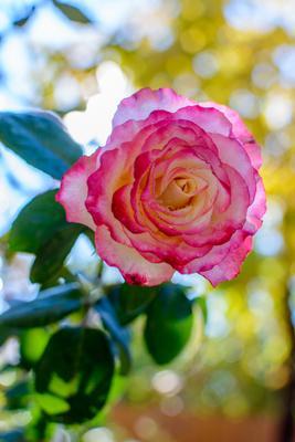 Роза цветы роза осень