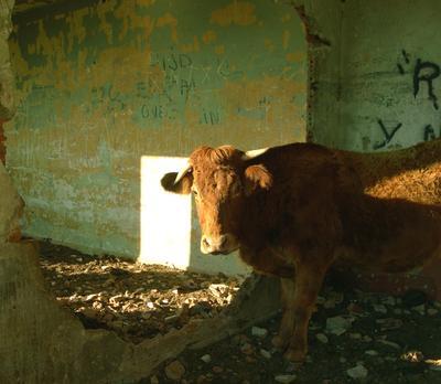 рыжая корова,которая живёт в заброшенной артилерийской казарме корова заброшенное