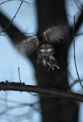 Я ужас, летящий на крыльях ночи Воробьиный сычик 07.12.2020 Москва Главный Ботанический сад сова птица птицы