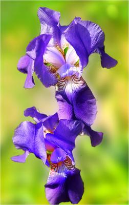Весёлый  ирис май наш сад клумба синий ирис