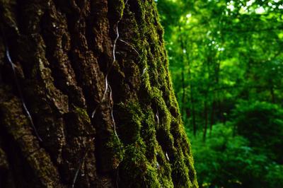 *** дерево мох природа