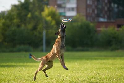 Фрисби 2 Собака Собакен Малинуа Бельгийскаяовчарка Овчарка Фрисби диск тарелка SAL-70200G2