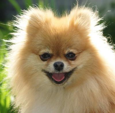 Рыженькая шпиц, рыженькая, собачка