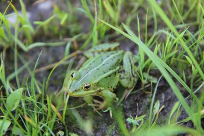 Лягушка лягушка зеленый